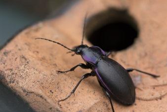 beetle control